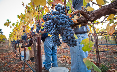 Pruning the vines - Carr Vineyard Managament