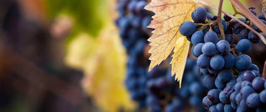 El Rey Vineyard managed by Carr Winery in Santa Ynez