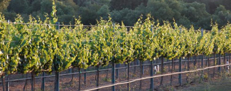 Coquelicot Vineyard