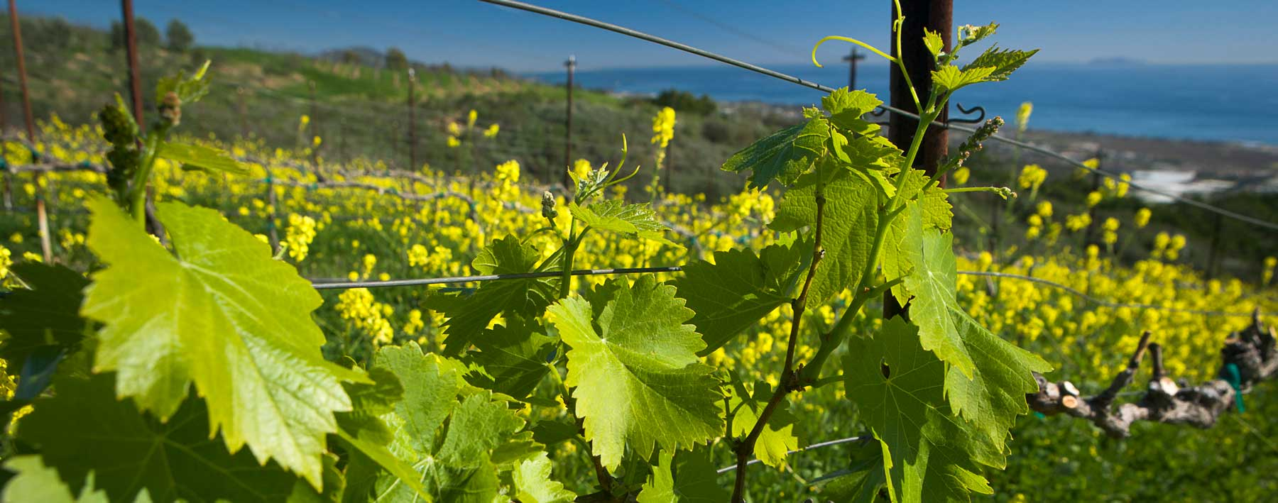 A closeup of wine grape leaves and flowers from a vineyard in Santa Ynez Valley