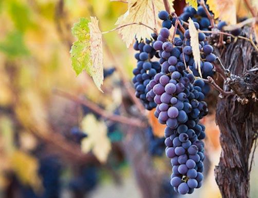 Woodstock Vineyard managed by Carr Winery in Santa Ynez
