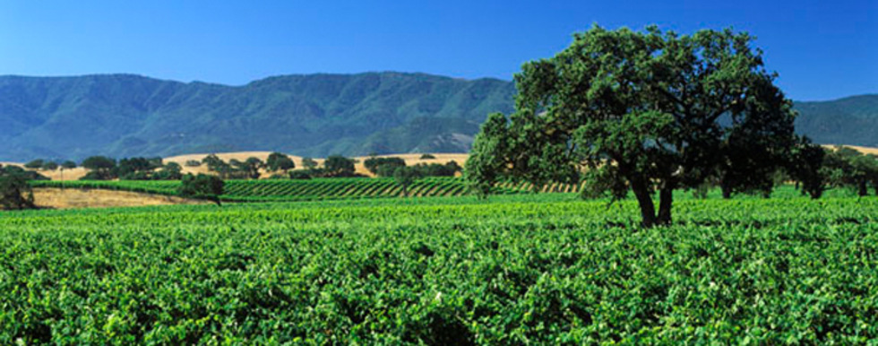 Camp Four Vineyard in Santa Barbara County