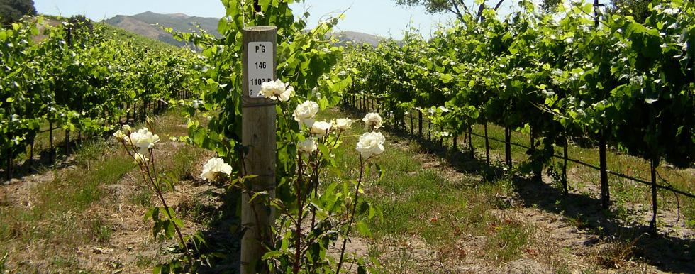 Turner Vineyard in Santa Barbara County
